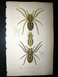 Cuvier C1835 Antique Hand Col Print. Spiders #6A
